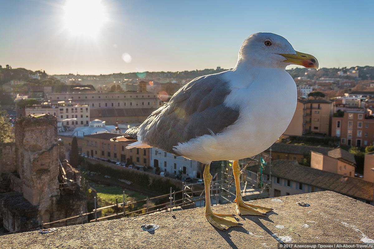Рим, чайка